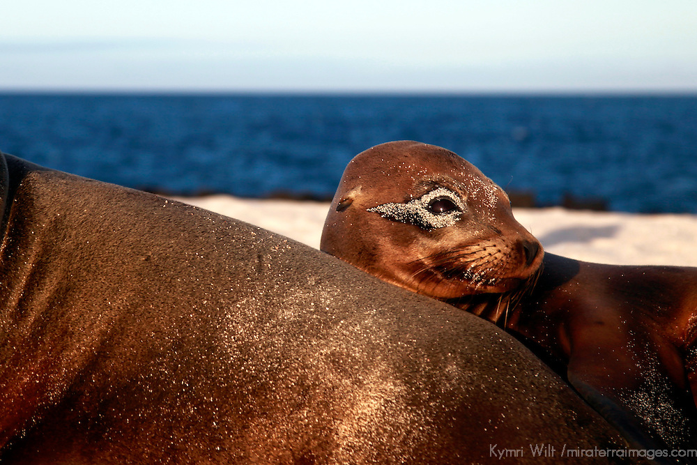South America, Ecuador, Galapagos. Sea Lion with sandy eye on Mosquera Island.