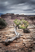 Juniper tree (Juniperus osteosperma) on canyon rim, Canyonlands National Park Utah USA