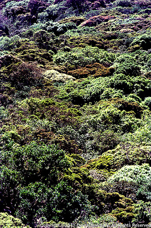 Canopy of Montane Evergreen 'Shola' forest ,the type of vegetation unique to the .Nilgiri Biosphere Reserve,Mukurthi National Park,Nilgiris,Tamilnadu,India.This primary forest is undisturbed and harbours a fascinating and complex diversity of flora and fauna...