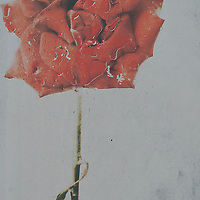Photo of moist red rose against glass.