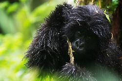 Mountain gorilla (Gorilla beringei beringei) in Virunga, Rwanda