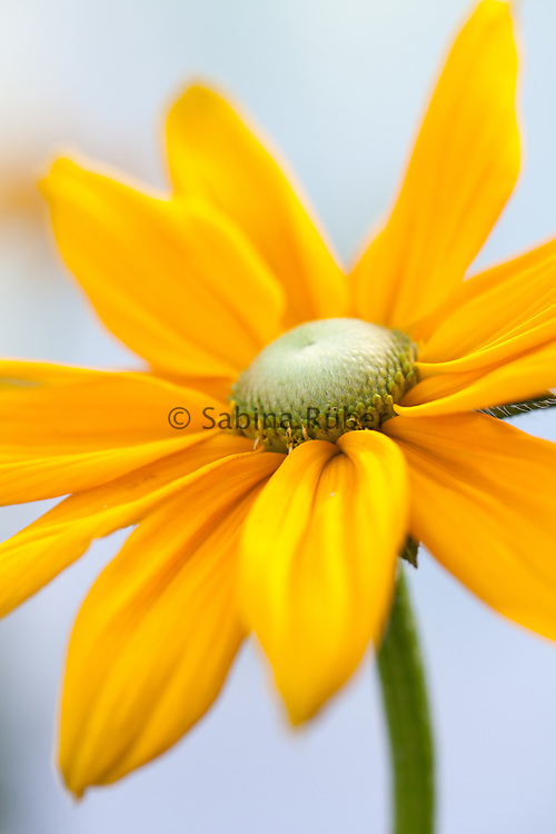 Rudbeckia hirta 'Prairie Sun' - black-eyed Susan