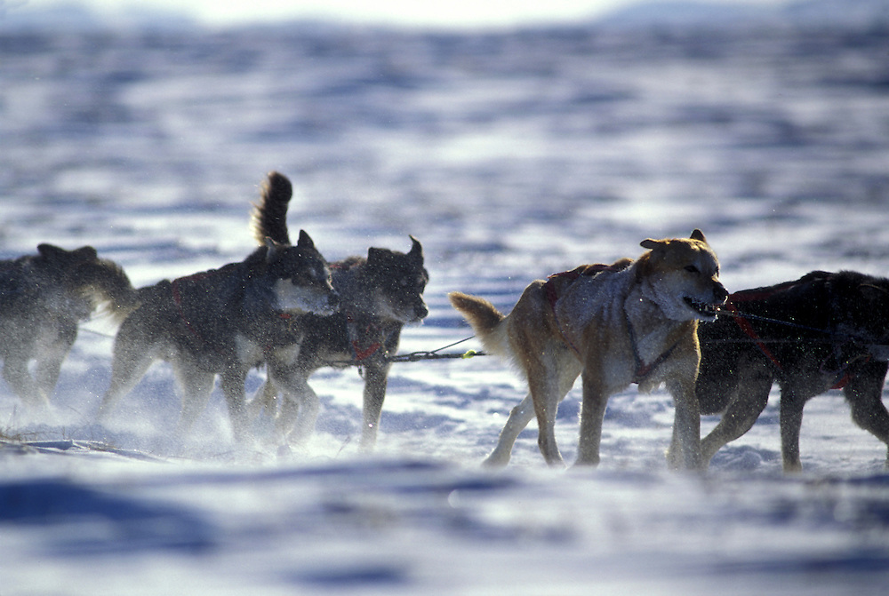 USA, Alaska, Dogs in Martin Buser's team run into wind on trail approaching village of Unalakleet during 1994 Iditarod.