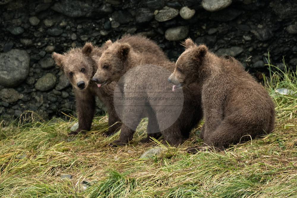 Brown bear cubs sit together at the McNeil River State Game Sanctuary on the Kenai Peninsula, Alaska. The remote site is accessed only with a special permit and is the world's largest seasonal population of brown bears in their natural environment.