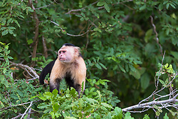 A white faced panamanian monkey takes a look around at his surroundings.