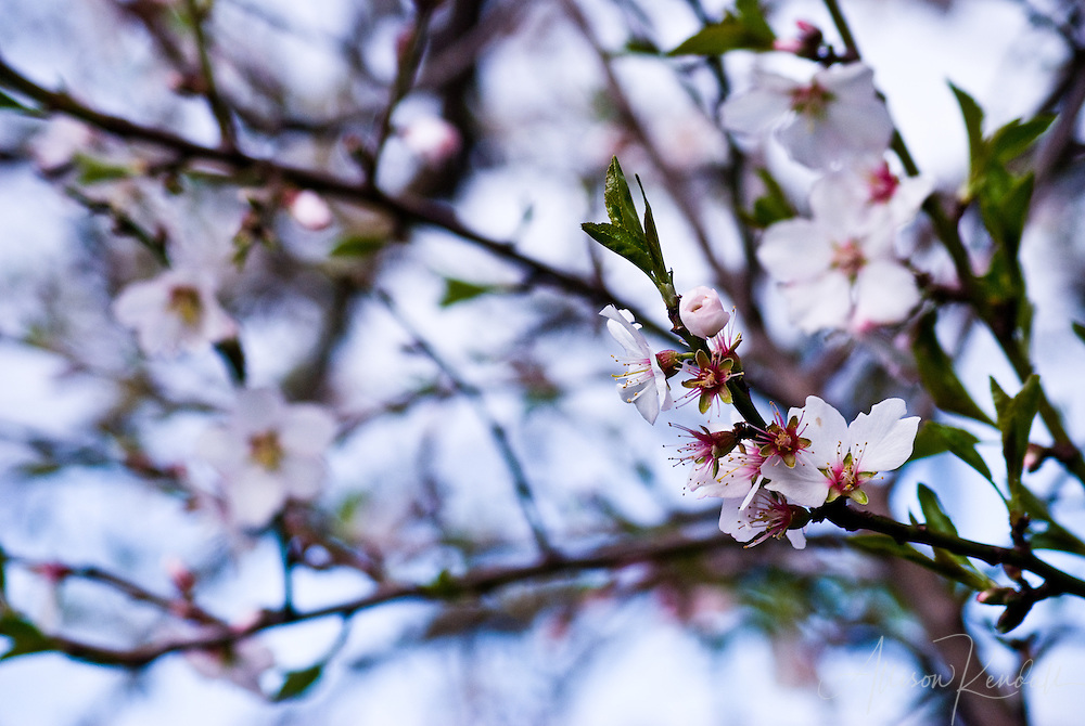 Soft-focus up into the branches of a flowering cherry tree in spring