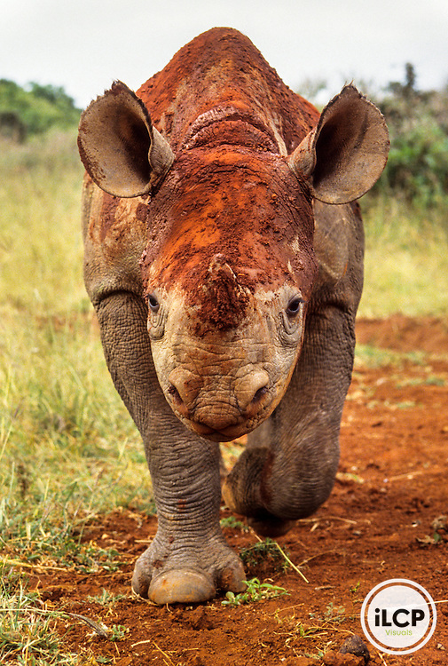 Kenya: Nairobi Naitonal Park, 'Scud,' orphaned juvenile black rhinoceros ('Diceros bicornis' ) under the care of Daphne Sheldrick, after a mud bath, captive to be released