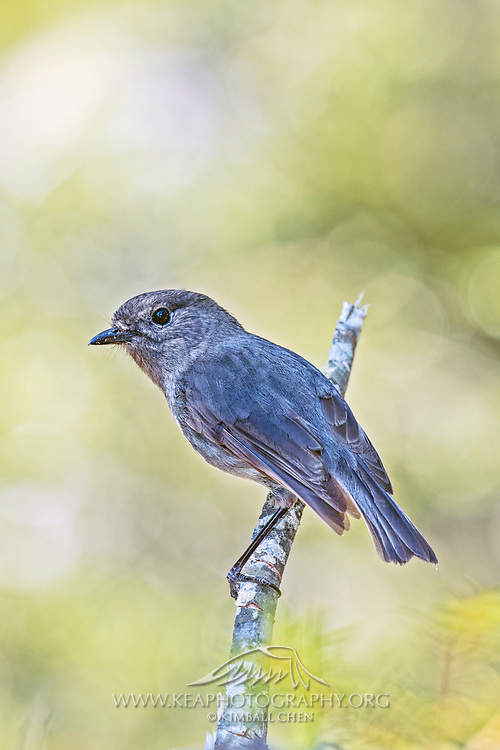 South Island Robin in forest, New Zealand