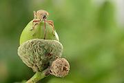 Female Acorn weevil (Curculio glandium) , The Biosphere Reserve 'Niedersächsische Elbtalaue' (Lower Saxonian Elbe Valley), Germany | Der weibliche Gewöhnliche Eichelbohrer (Curculio glandium) hat einen Rüssel, der etwa genauso lang wie der gesamte restliche Körper ist. Tastend findet das bereits befruchtete Tier den weichen Rand einer Eichel und bohrt ein Loch für die bevorstehende Eiablage. Der kugelförmige,  in einer Art Halskrause sitzende Kopf wird dabei hin und her bewegt.