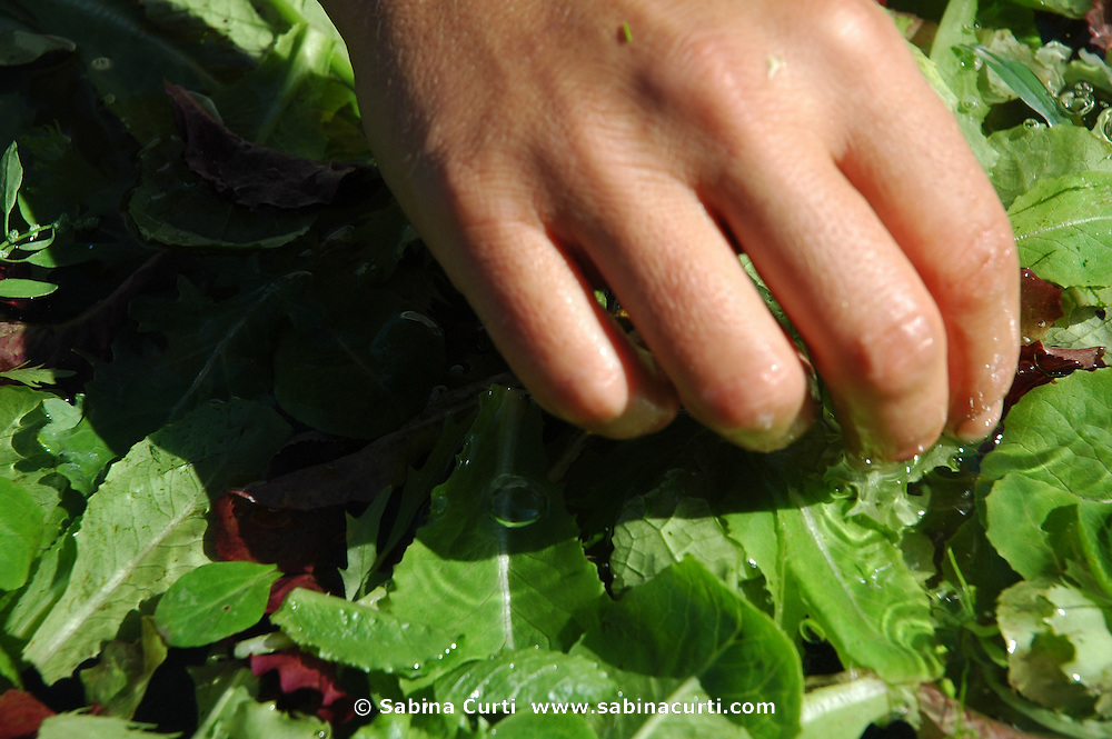 Farm Girl Farm CSA, sustainable community supported agriculture. Laura Meister, hand washes fresh baby salad greens.