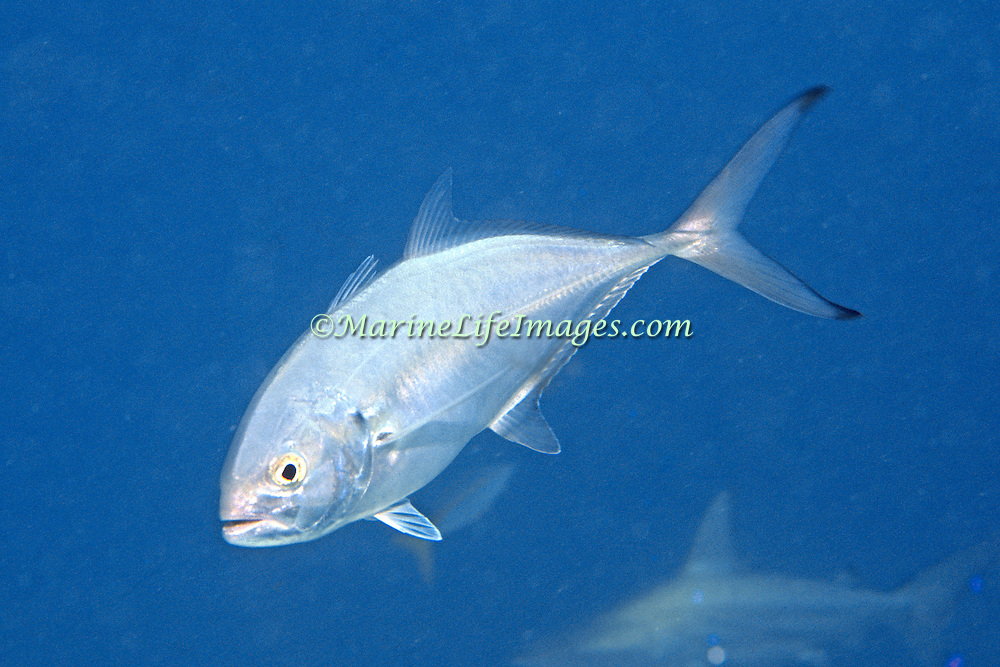 Blue Runner inhabit open water in Tropical West Atlantic; picture taken Grand Cayman.