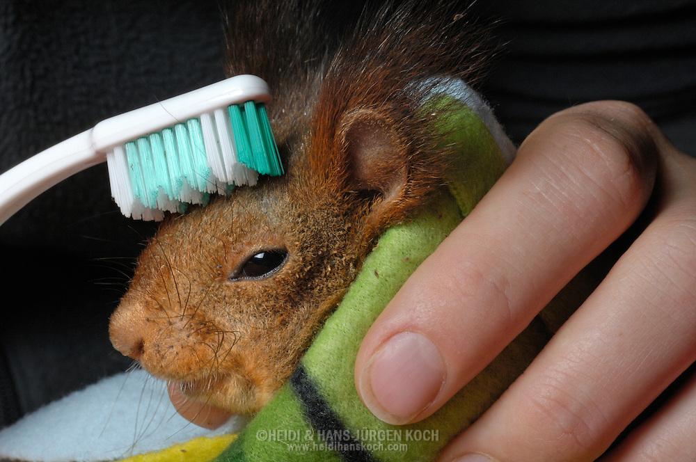 DEU, Deutschland: Europäisches Eichhörnchen (Sciurus vulgaris), medizinische Behandlung eines kranken Eichhörnchens, mit einer Zahnbürste wird  ein mit Milben verseuchtes Eichhörchen von seinen Parasiten  befreit, kranke und verletzte Eichhörnchen werden in der Eichhörnchen-Schutzstation in Eckernförde wieder aufgepäppelt und gesund gepflegt, Eichhörnchen-Schutzstation, Eckernförde, Schleswig-Holstien | DEU, Germany: Eurasian Red Squirrel (Sciurus vulgaris), medicating of a sick squirrel, cleaning with a toothbrush a verminoused with mites squirrel, red squirrel protection station, Eckernfoerde, Schleswig-Holstein