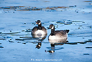 Geese and other waterfowl struggle as cold winter temperatures cause the lake water to ice over, Sheffield UK 2015