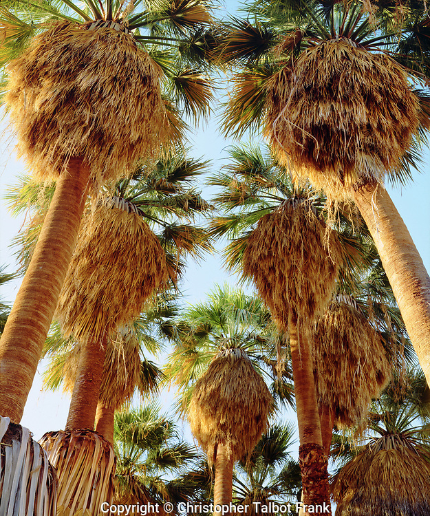 I hiked in to take this photo of a grove of native Fan Palm Trees in Anza Borrego Desert State Park.  The thick desert forest grows upward from fresh water desert spring.