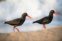 African Black Oystercatcher pair , Buffalo Bay, Western Cape, South Africa