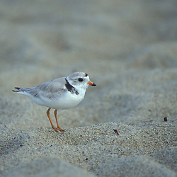 Seabrook, NH.Piping Plover, Charadrius melodus. Threatened species