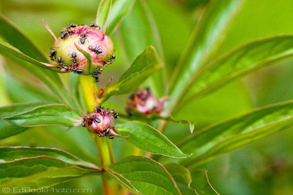 macro of ants opening a peony flower bud