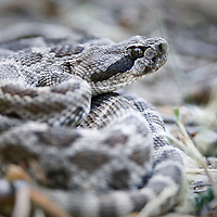 The rattlesnake curls up to defend itself.