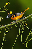 Baltimore Oriole, Icterus galbula<br />