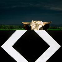 Bull, Wairarapa