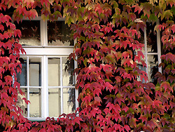 CZECH REPUBLIC PRAGUE 12OCT08 - Leafy facades in Vinohrady in Prague, Czech Republic.....jre/Photo by Jiri Rezac....© Jiri Rezac 2008....Contact: +44 (0) 7050 110 417..Mobile:  +44 (0) 7801 337 683..Office:  +44 (0) 20 8968 9635....Email:   jiri@jirirezac.com..Web:    www.jirirezac.com....All images © Jiri Rezac 2008. All rights reserved.