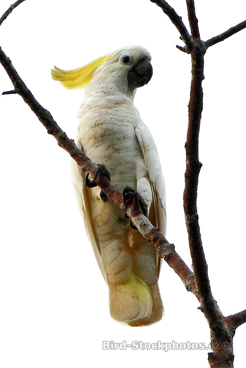Yellow-crested Cockatoo, Cacatua sulphurea, Papua New Guinea, by Markus Lilje