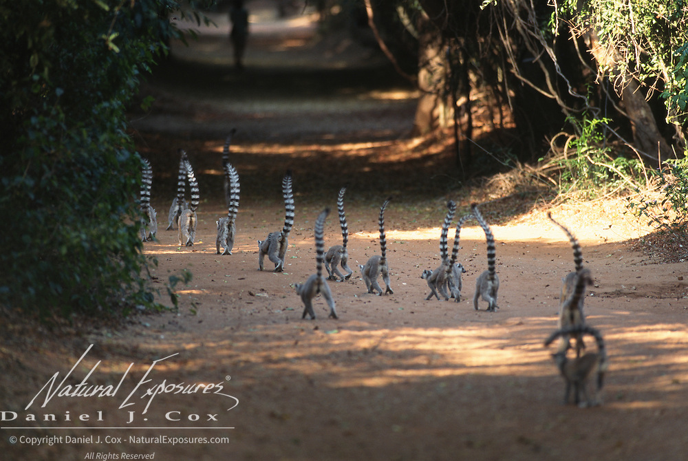 Ring-tailed Lemur (Lemur catta) group walking down a trail. Madagascar