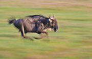 Running wildebeest, Serengeti National Park, Tanzania.