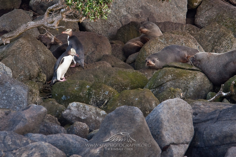 Yellow-Eyed Penguins AND New Zealand Fur Seals share tight quarters along the many small islands at Stewart Island.