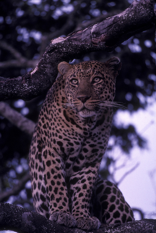Africa, Kenya, Masai Mara Game Reserve, Adult male Leopard (Panthera pardus) sits in tree branches above savanna at dusk