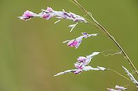 Dierama latifollium. Vernon Crookes Nature Reserve. Southern KwaZulu Natal. South Africa