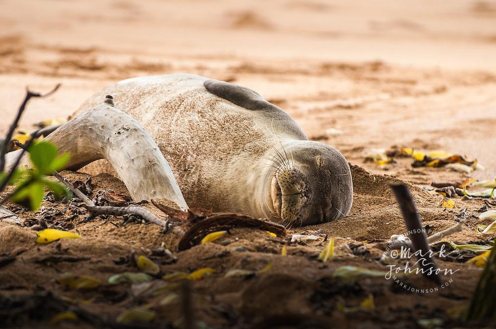 Hawaiian Monk Seal resting on the beach, Kauai, Hawaii