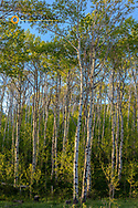 Aspen grove with spring growth near East Glacier, Montana, USA