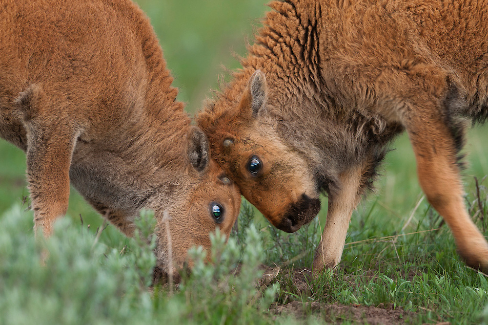 The rut is weeks away and years away for these two bison calves, but it doesn't stop them from practicing for the future.