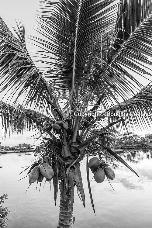 Coconut Palm Tree, Hawaii, black and white