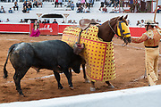 A bull charges a Picadors horse during a bullfight at the Plaza de Toros in San Miguel de Allende, Mexico. Picadors ride horses surrounded by a peto, a mattress-like protection that greatly minimizes damage to the animal during the bullfight.