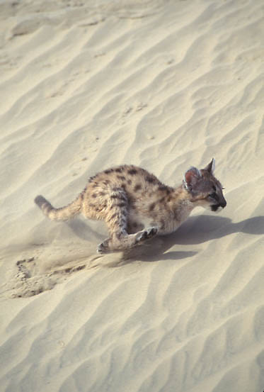 Mountain Lion or Cougar, (Felis concolor) Cub running in sand dunes of Little Sahara area. Utah.  Captive Animal.