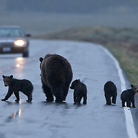 Grizzly bear sow with 4 cubs. Yellowstaone National Park.