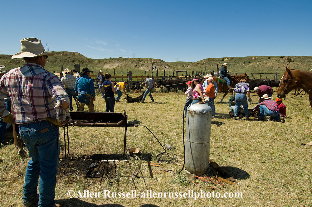 Branding, Rancher Charlie Cavall looks over as friends and family help, east of Miles City, Montana