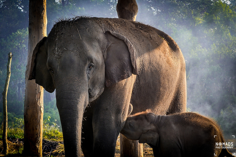 A young calf feeds on his mother at dawn in Chitwan National Park, Nepal.