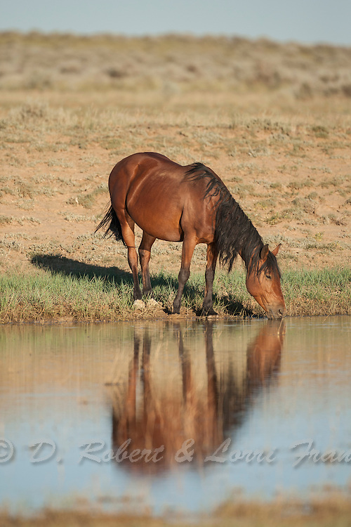 Wild mustang at waterhole in Wyoming