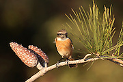 Female stonechat (Saxicola torquata) perching on an pine tree branch. The stonechat inhabits reed thickets and grasslands throughout Africa, Eurasia and New Zealand. The male (not seen) possesses a bright red breast and is highly territorial. The female builds a nest within the male's territory which she hides in vegetation on the ground. Photogrphed in Israel in November