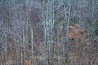 """""""Skeletons"""" - Fine Art Limited Edition. 20 Color Prints. An elevated view  looking into a deciduous hardwood forest, Winter, Southern Maryland"""