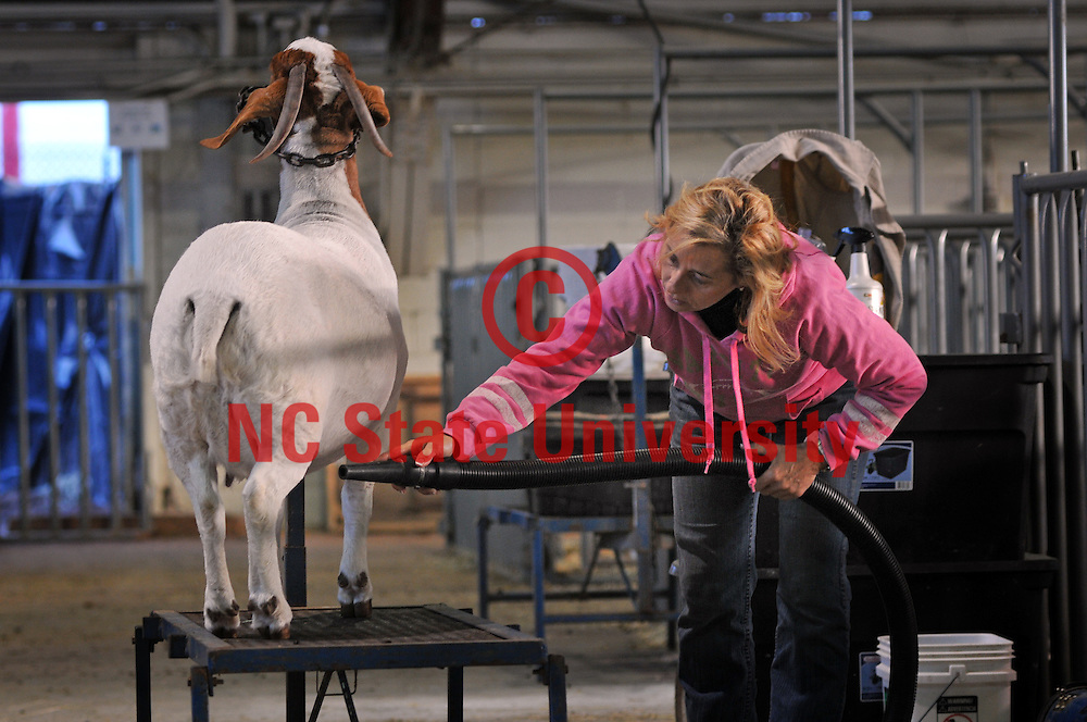 A goat gets primped for judging at the NC State Fair.