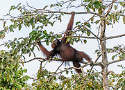 Adult male Bornean orangutan (Pongo pygmaeus) feeding on figs in the top of a tree at Kinabatangan River, Sabah, Borneo.