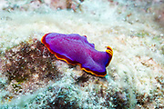 Polyclad Flatworm nudibranch (Pseudoceros ferrugineus) on Agincourt Reef, Great Barrier Reef, Queensland, Australia. <br /> <br /> Editions:- Open Edition Print / Stock Image