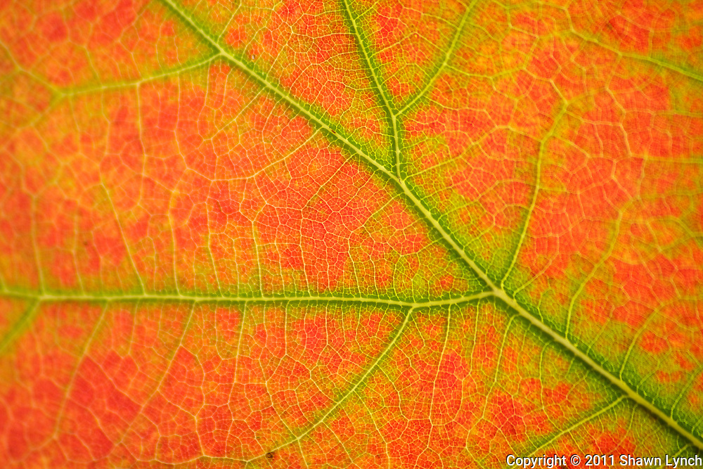 Leaves photographed close up to explore the color patterns of the fall foliage in detail.