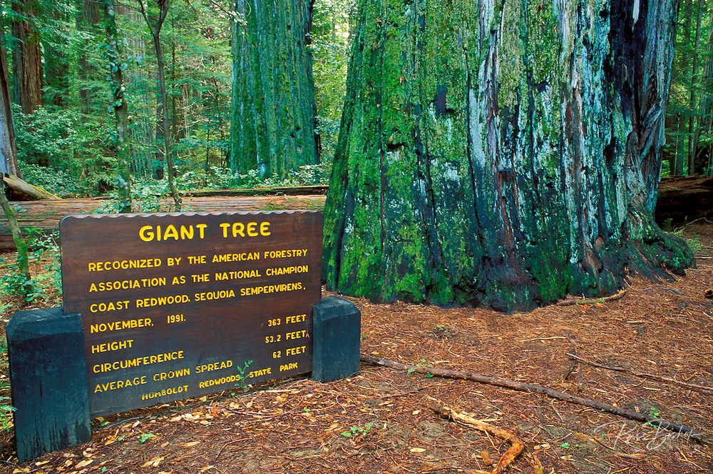 Giant coast Redwood and sign in the Rockefeller Grove, Humboldt Redwoods State Park, California