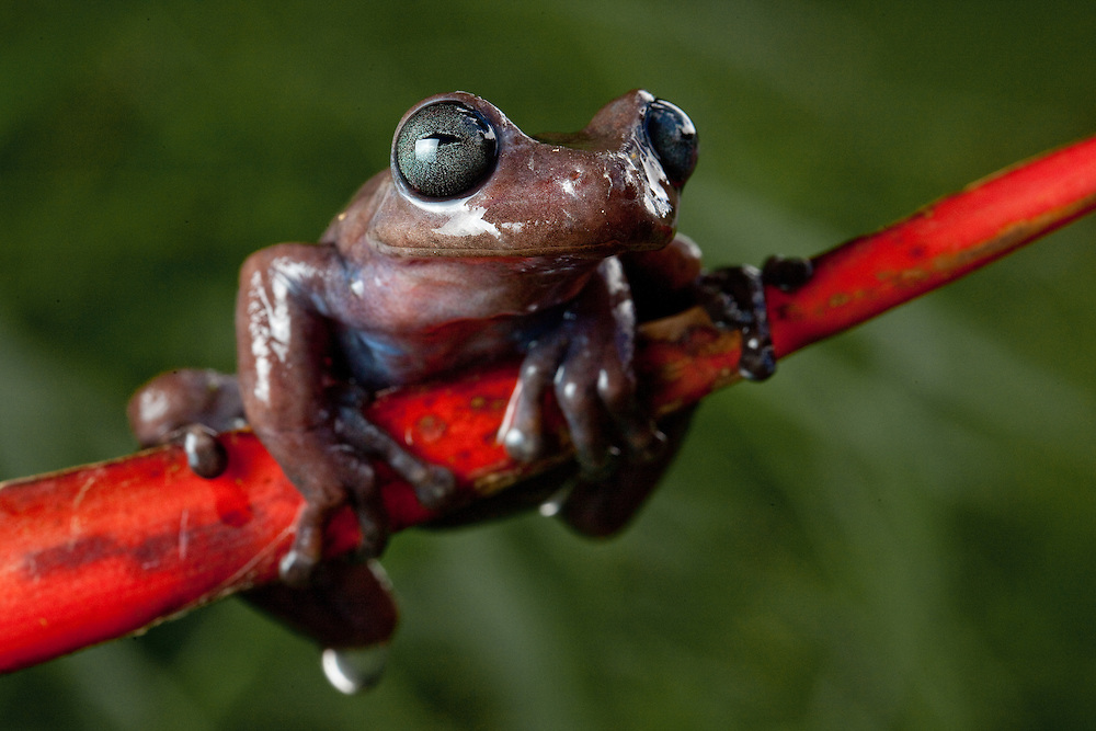 Cordillera Central Treefrog, Hyloscirtus larinopygion near Sonson in Antioquia, Colombia