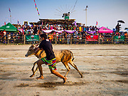 17 FEBRUARY 2018 - BAN LOT, PHETCHABURI, THAILAND: A boy runs past the grandstand with his ox calf during calf racing at the ox cart races in Ban Lat, a community about three hours south of Bangkok. The ox cart races are almost 100 years old, and date back to the reign of King Rama V. The races are run on a 100 meter long straightaway course.   PHOTO BY JACK KURTZ